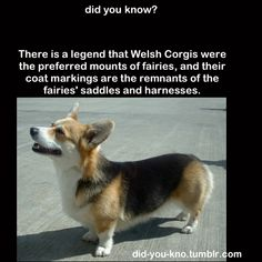 welsh corgi legend of preferred mounts of fairies.  their coat markings are the remnants of the fairies' saddles and harnesses.