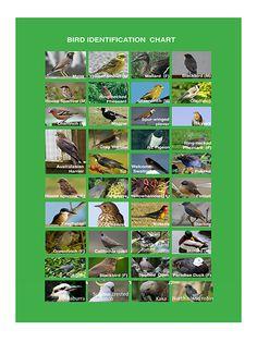Bird Identification Chart | Forest and Bird