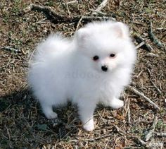 Pomeranians Dogs Teacup Pomeranian Puppies Available - Home raised male and female Teacup Pomeranian puppies for adoption. These puppies will be coming with all health papers proving that they are free of pet diseases. Puppies are home. Micro Teacup Pomeranian, Pomeranian Puppy For Sale, White Pomeranian, Teacup Puppies, Cute Puppies, Cute Dogs, Dogs And Puppies, Teacup Chihuahua, Parti Pomeranian