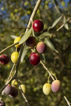 Ancient olive trees in the Mediterranean - La Axauquía, Málaga - Andalucía, Spain Fruit Garden, Edible Garden, Fruit And Veg, Fruits And Vegetables, Olive Harvest, Kalamata Olives, Tropical Fruits, Olive Tree, Pomegranate