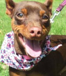 Mocha is an adoptable Miniature Pinscher Dog in Waterloo, IA. I'm beautiful (and I know it) but you may always tell me again! You may call me Princess Mocha. I smile at all my loyal subjects, and rewa...