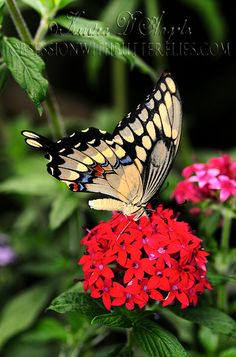 Gaint Swallowtail butterfly nectaring on Red Pentas |