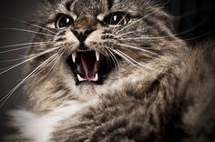 Cats can behave very differently in shelters than they would in a home. Hissing cat by Shutterstock