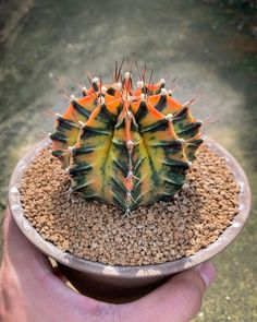 Wonderful Cactuses And Desert Plants Photography By Wachirapol Deeprom - Garden Care, Garden Design and Gardening Supplies Cacti And Succulents, Planting Succulents, Growing Succulents, Succulent Terrarium, Succulents Garden, Indoor Cactus Plants, Indoor Herbs, Pot Plants, Indoor Gardening