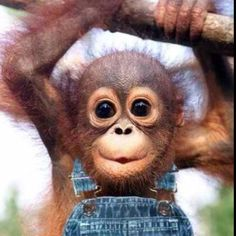 Baby monkey in overalls. Can't go wrong.