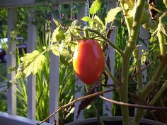 Roma tomato varieties are often referred to as paste tomatoes. We have a full article on them here: http://www.container-gardening-for-you.com/roma-tomatoes.html