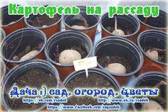Картофель на рассаду (часть 2)   Дачный сад и огород