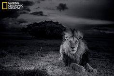 Rare photos capture daily life of Serengeti lions #animals #lions #photography