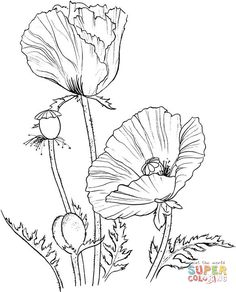 Oriental poppy coloring page | SuperColoring.com