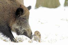 Porcos selvagens brincam na neve na Europa .