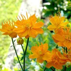 KINESISK SMÖRBOLL 'Golden Queen' i gruppen Perenner hos Impecta Fröhandel (6610) Yellow Flowers, Garden Plants, Perennials, Planters, Orange, Landscape, Nature, Homestead, Gardens
