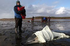 1 of 2 dolphins rescued on Cape Cod gets tag allowing rescuers to keep track of her