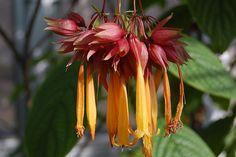 Deppea splended (Rubiaceae)