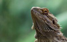 Bearded Dragon [2048 x 1295][OC]