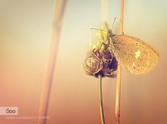 butterfly and field flower.... by pomian3. Please Like http://fb.me/go4photos and Follow @go4fotos Thank You. :-)