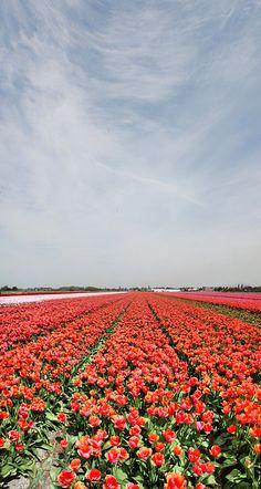 Field of Tulips , Lisse region, Nederland Het typische Nederlandse plaatje in de buitenlandse brochures