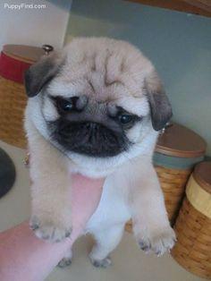 Fluffy puggy!