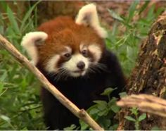 "Seriously, who could resist this face? (Cincinnati Zoo)  ""5 Things You Probably Didn't Know About Red Pandas"""