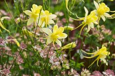 Aquilegia chrysantha 'Yellow Queen' - very effective when threaded through and mingling with other plants.  Bright yellow flowers with long spurs in May/June.