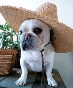 french bulldog in straw hat
