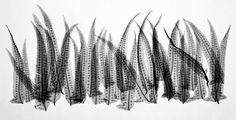 flores del sol: x-ray ferns