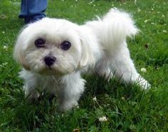 Jack is an adoptable Maltese Dog in Stroudsburg, PA. Age of Dog: Approx. 3 years All of our adult dogs at AWSOM are spayed or neutered and fully vaccinated prior to adoption. AWSOM will pay for puppie...