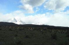 Parque Nacional Torres del Paine. Chile. Reserva de guanacos