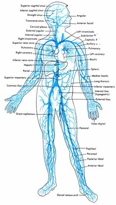 this diagram shows the major veins in the human body venashuman anatomy arteries and veins, nervous system diagram, nervous system anatomy, human