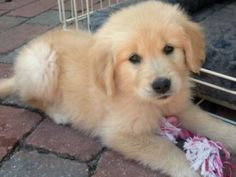 Cutest golden retriever ever!