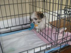 """Share this Pin with anyone needing to potty train a puppy! Cooper from Missouri – Maltese Mix. PTPA Review: """"No getting dressed to take him out to go!"""" Barbara – Missouri. Click here for more testimonials and to watch our amazing video: http://ModernPuppies.com/"""