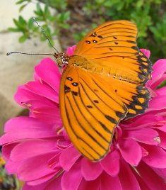 Texas Butterfly Garden Plants