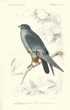 1861 Oiseaux le Faucon gravure ancienne Ch. d' Orbigny Original Qualité Exceptionnelle Hist. Naturelle Lithographie peinte à la main Rapace de la boutique sofrenchvintage sur Etsy
