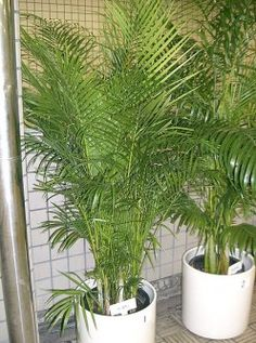 Top houseplants to clean/purify the air....this is the Areca Palm