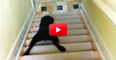 This Puppy Has A Unique Way Of Going Down The Stairs. It Is So Funny!   FamilyPet