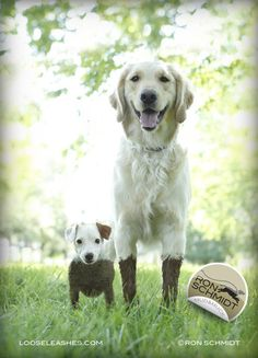 Loose Leashes by Ron Schmidt - MUD and MUCK - JACK RUSSELL TERRIER AND GOLDEN RETRIEVER