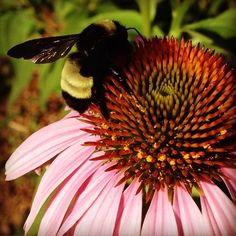 #American #bumblebee pollinating a coneflower in the #native #Texas #butterfly #garden in #mckinneytx.  #bees #nature #flower #honey #insect #photography #flowers #insects