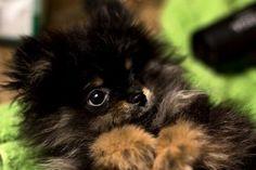 Hudson the Pomeranian #Pomeranian