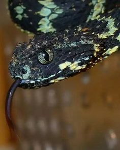 (Atheris squamigera) variable bush viper