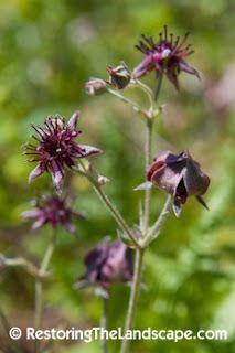Marsh Cinquefoil ~ Comarum palustre