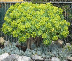 Euphorbia lambii Tree Euphorbia