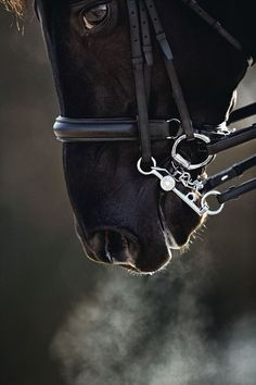 Practices of an effective Dressage rider Beautiful Horse Pictures, Beautiful Horses, Animals Beautiful, Dressage, Majestic Horse, Black Horses, All The Pretty Horses, Mundo Animal, Equine Photography