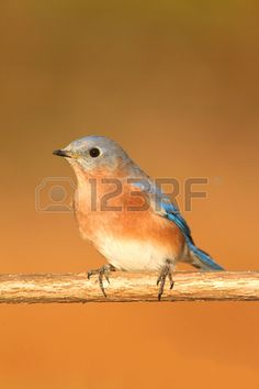 Male Eastern Bluebird (Sialia sialis) on a perch with a brown background and negative space