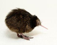 New Zealand Ambassador Names National Zoo Kiwi Chick | Flickr - Photo Sharing! #kiwi