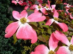 The Dogwood tree is one of the most commonly planted trees in the U.S. but many people don't know about it's unique and sometimes edible dogwood fruits.