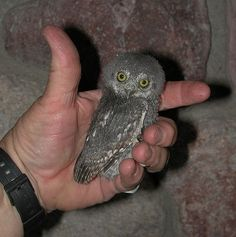 An Elf Owl. The tiniest owl in the world is the Elf Owl, which is 5 - 6 inches tall and weighs about 1 ½ ounces. Here is a photo of a fledgling Elf Owl from Arizona! Beautiful Owl, Animals Beautiful, Beautiful Creatures, Owl Photos, Owl Pictures, Baby Owls, Cute Baby Animals, Owl Babies, Funny Animals