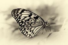 Week 13 - Butterfly