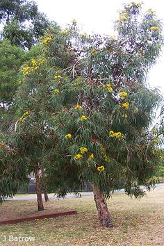 Eucalyptus erythrocorys Aussie bush small trees such as Acacia pendula Eremophila longifolia Mallee gum (red-capped gum Eucalyptus erythrocorys is particularly stunning Coastal Entryway, Coastal Decor, Coastal Curtains, Coastal Rugs, Coastal Bedding, Modern Coastal, Coastal Farmhouse, Coastal Cottage, Australian Native Garden