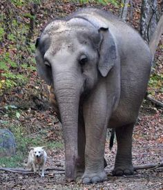 Hohenwald, Tennessee where elephants rescued from zoos and circuses go to retire  a very unusual friendship has emerged. Tarra the elephant has bonded with Bella the dog and the two have been inseparable.