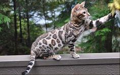 Bengal Cat. I love the spots:)