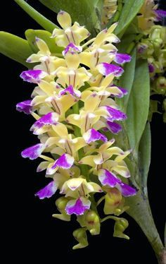 ✯ Orchid (Aerides houlletiana) From: RF Orchids Inc., please visit Unusual Flowers, Rare Flowers, Amazing Flowers, Pretty Flowers, Strange Flowers, Tropical Flowers, Colorful Flowers, Cactus Flower, Purple Flowers